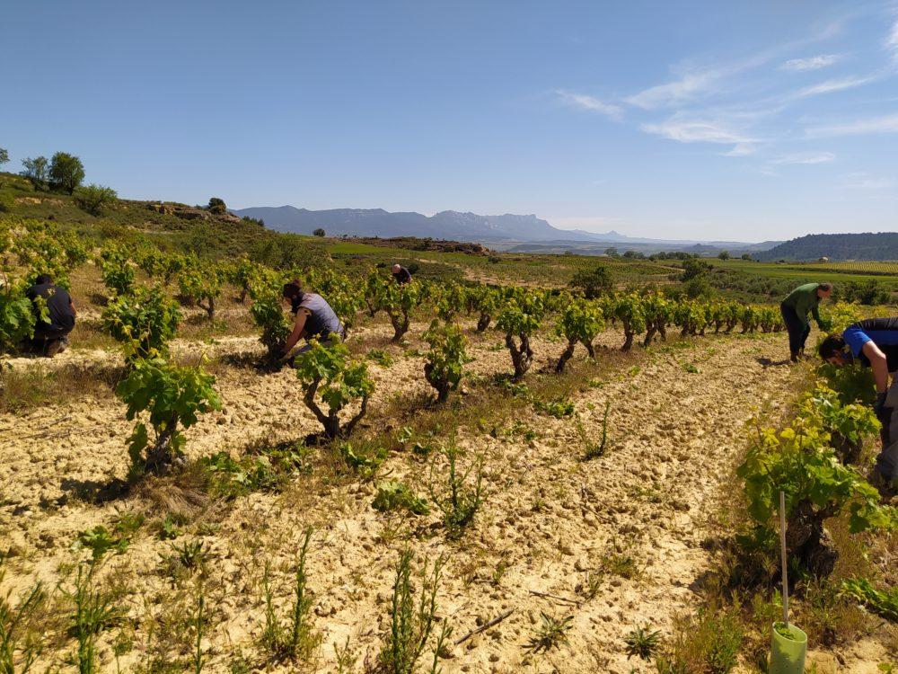 Cuidando la viña en primavera: espergura, despunte y desniete
